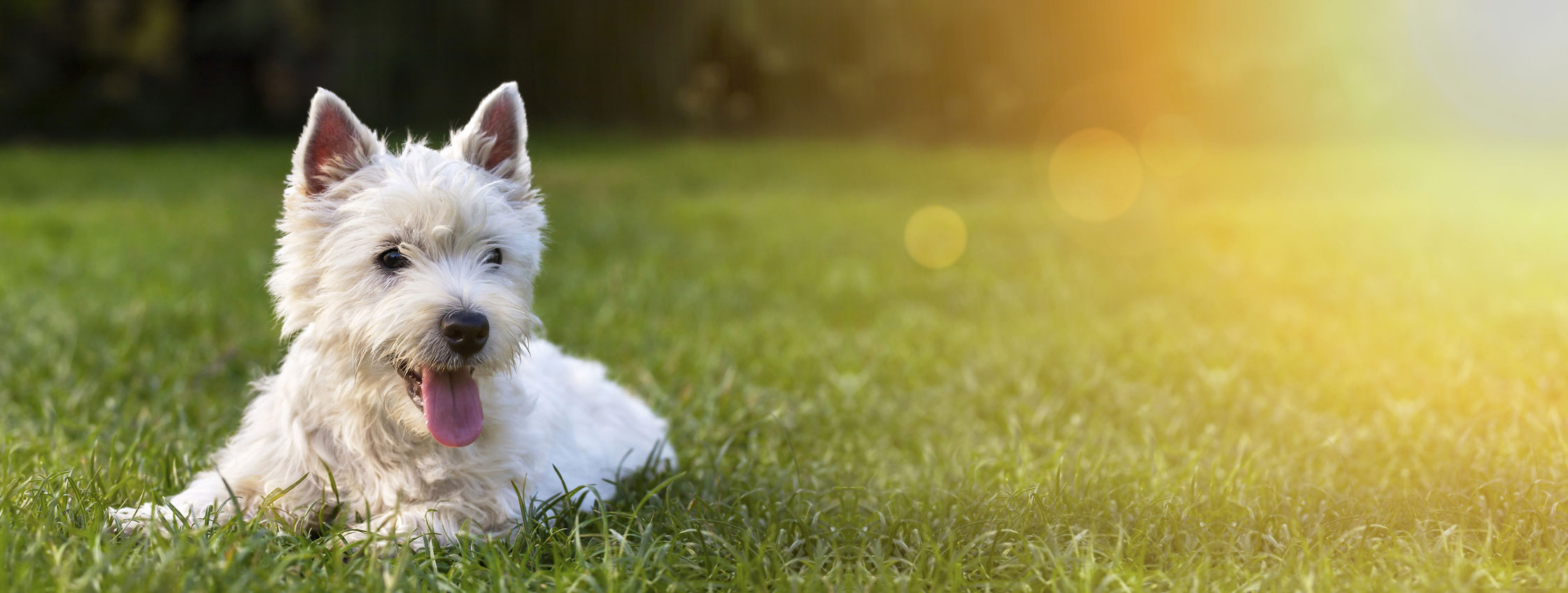 מצבי אלרגיות בכלבים: הפרעושים