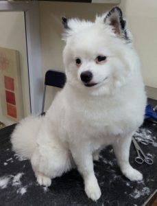 תספורת כלב שפיץ