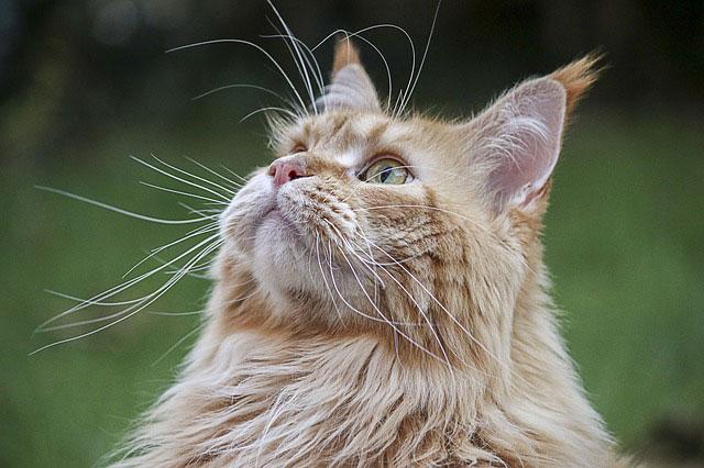 סירוס חתולים – כל מה שחשוב לדעת