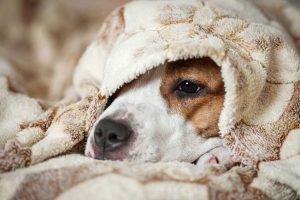 עיקור כלבה - כל מה שחשוב לדעת