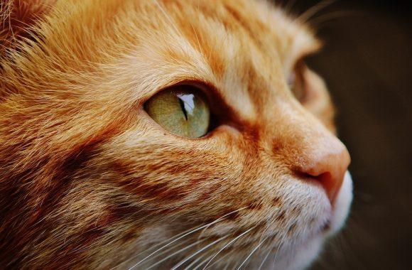 עיקור חתולה – מדוע מדובר על ניתוח חשוב?