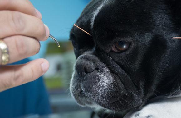 אקופונקטורה לבעלי חיים – האמנם?
