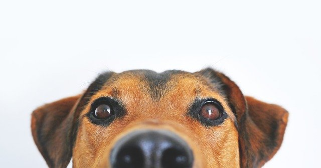 מחלת קושינג בכלבים