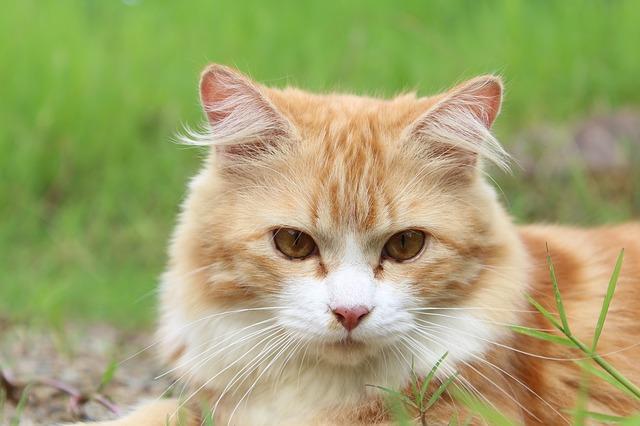 ניקוי בלוטות אנאליות של חתולים