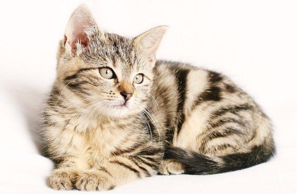 איך גוזרים ציפורניים לחתולים?